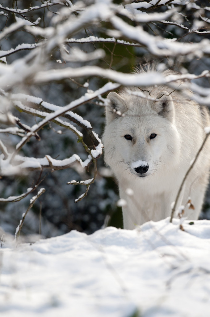 Arctic wolves pictured in the snow in Berkshire