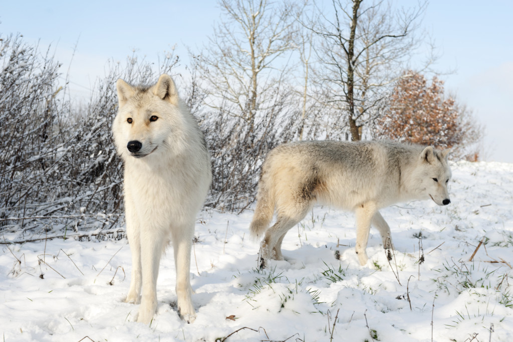 Arctic wolves pictured in the snow at the UK Wolf Conservation Trust in Beenham, Berkshire
