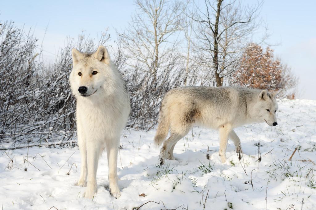 Arctic wolf in snow - photo#14