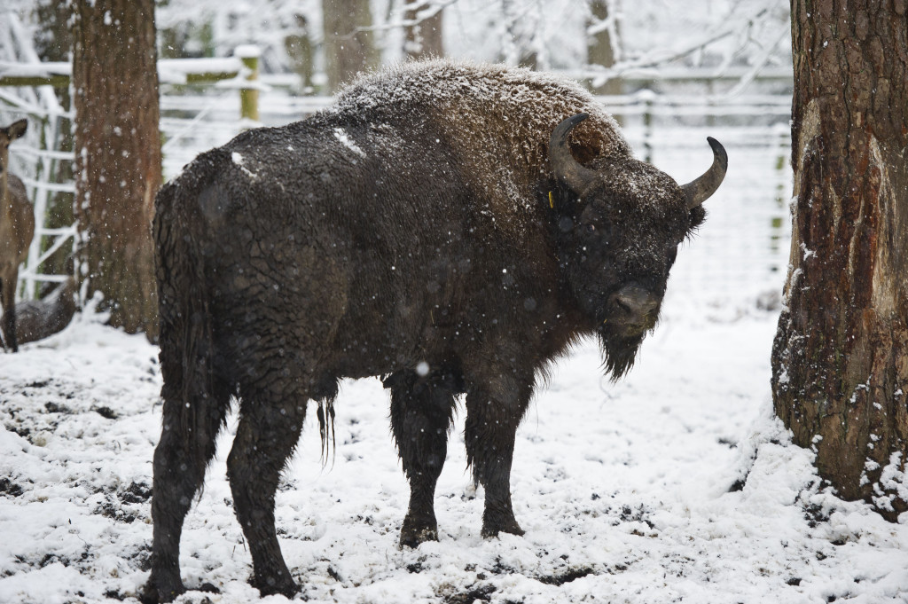 Bison on Snow
