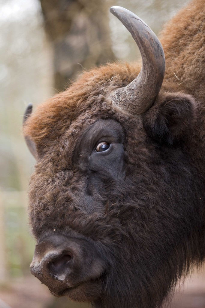 New Forest Wildlife Park near Longdown in Hampshire is now home to three European Bison named Janek, Wojtek and Leszek